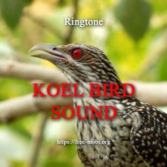 Ringtone: Koyal - Asian Koel Sound