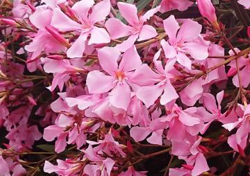 Blüten von Oleander.