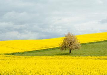 Yellow summer field